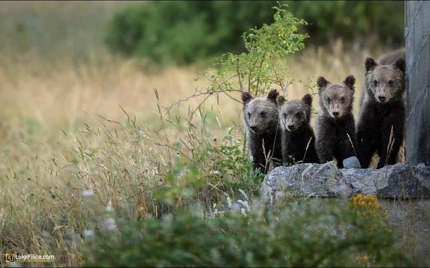 """Oggi a Pescina incontro sulla convivenza tra l'uomo e l'orso, il Sindaco Zauri: """"Non mancate"""""""