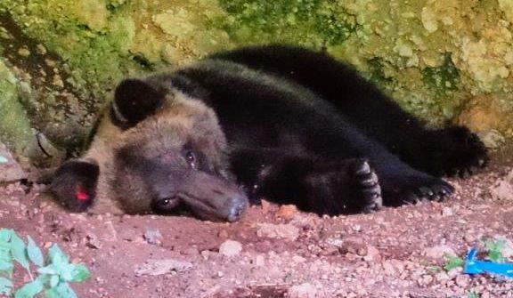 Malore per l'orso Juan Carrito, immediato l'intervento dei Carabinieri Forestali