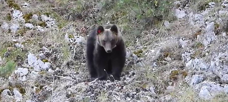 """L'orso Juan Carrito sta bene. PNALM: """"catturato per sostituire il radiocollare"""""""