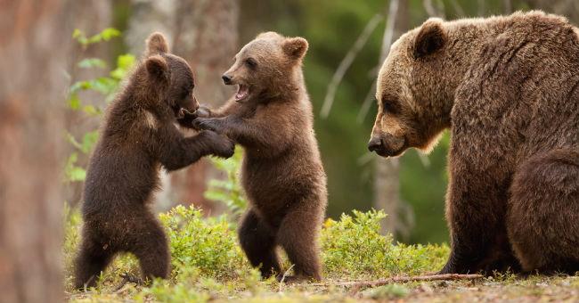 Una comunità a misura d'orso in Valle Roveto, incontro pubblico a Capistrello il 21 agosto