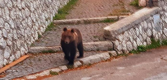 Un orso marsicano a spasso per le vie di Pescasseroli