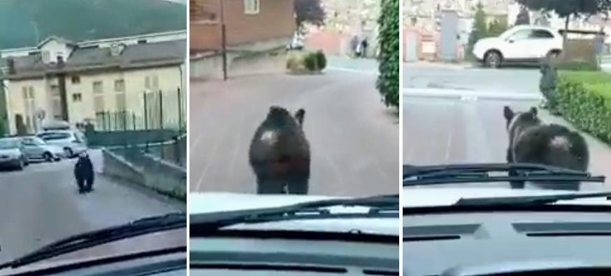 """Orso marsicano inseguito da un'auto. WWF Abruzzo: """"valuteremo se attivarci in sede legale per maltrattamenti"""""""