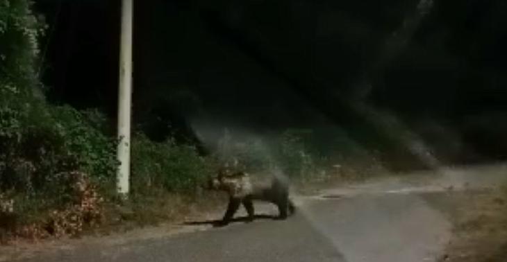 Incontro ravvicinato con l'orso marsicano a Villavallelonga (video)