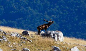 PNALM, come comportarsi in caso di incontro con un cervo