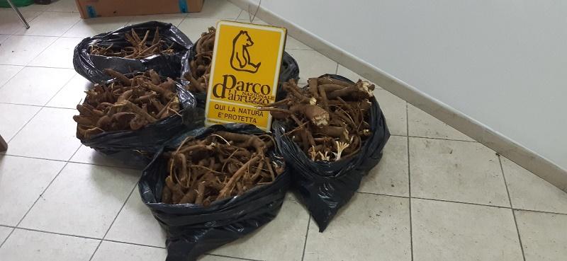 Sequestrati 50 kg di Genziana raccolta illegalmente nel Parco Nazionale d'Abruzzo Lazio e Molise