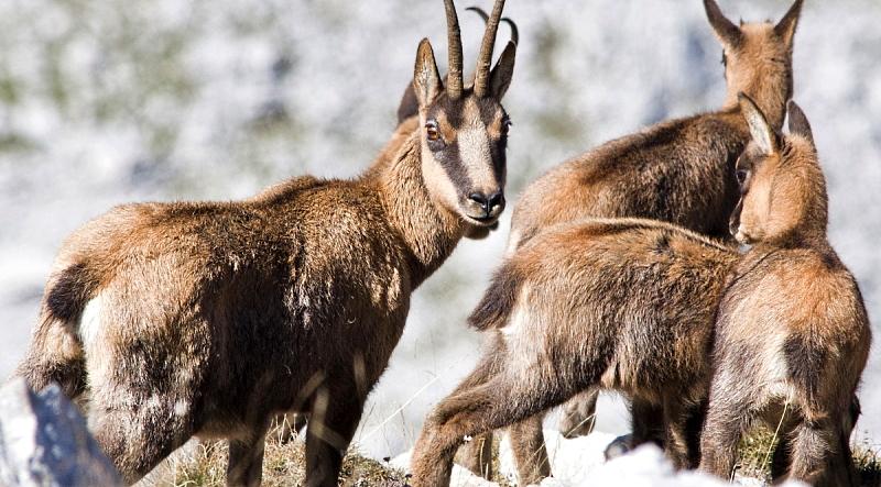 Sono 605 i camosci contati questa estate nel Parco Nazionale d'Abruzzo, Lazio e Molise: 139 i nuovi nati