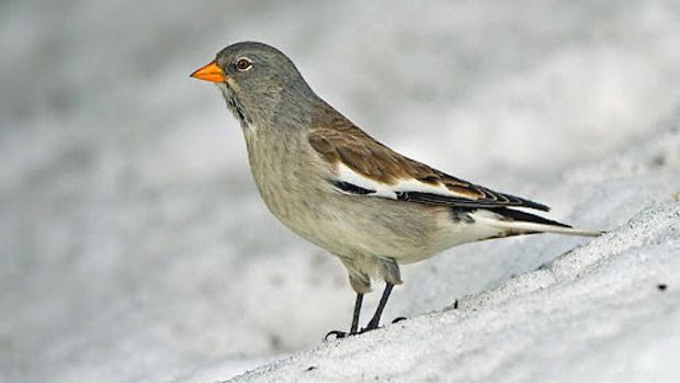 Snowfinch Day, Giornata nazionale di studio e sensibilizzazione sul fringuello alpino