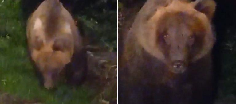 Il video dell'orsa Amarena in giro per Pescasseroli, mangia e si prepara al letargo