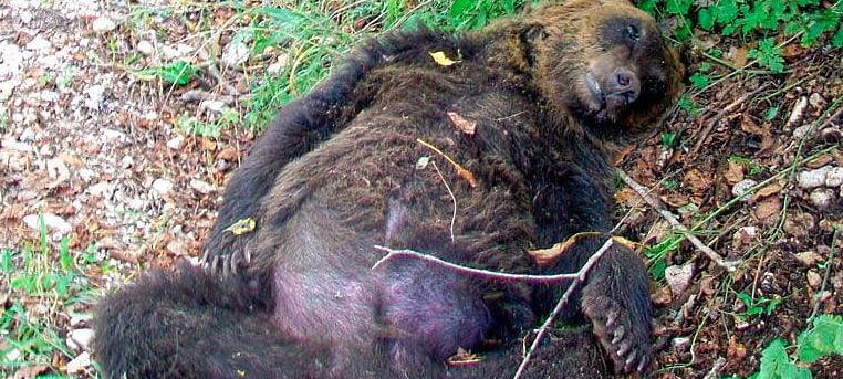 La Corte di Cassazione conferma la condanna dell'uomo che sparò e uccise un orso nel 2014