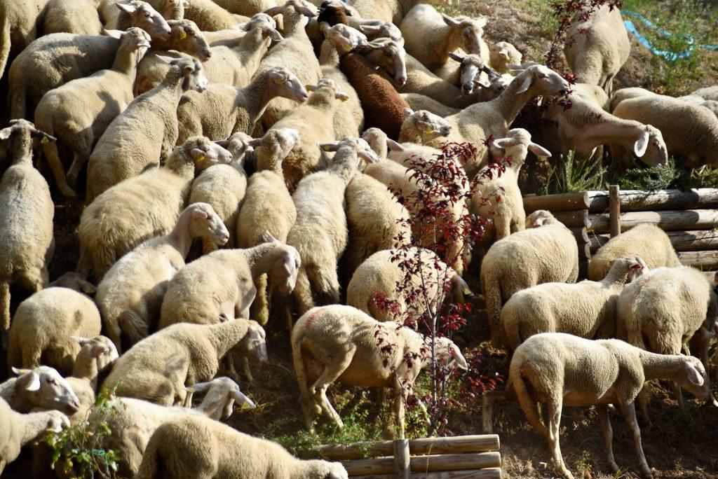 Stamattina è partita la Transumanza dalla basilica di Collemaggio, percorrerà il Tratturo magno