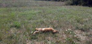 Trovato il corpo di un cucciolo di volpe con un foro di proiettile sulla schiena