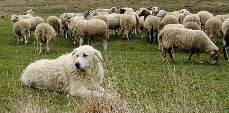 """Giunta Regionale approva modifica pastore abruzzese. Liris: """"onore ad autentica icona della nostra terra"""""""