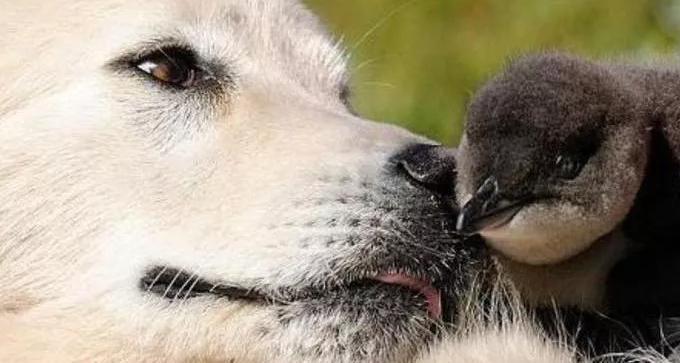 La storia del cane da pastore abruzzese che ha imparato a difendere i pinguini