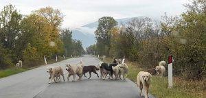 Branco di cani randagi tra Trasacco e Collelongo