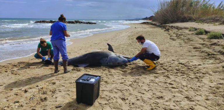 Due delfini spiaggiati sulla costa abruzzese: emergenza interazioni con le attività umane