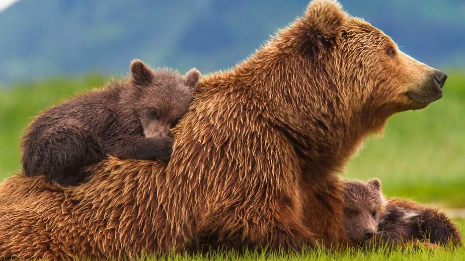 Presenza dell'orso nei centri abitati della Marsica, a Civita d'Antino l'incontro con il direttore del PNALM