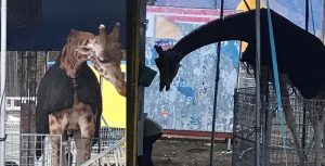 Ad Avezzano animali del circo al freddo: partita la petizione online